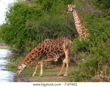 Giraffe thirsty