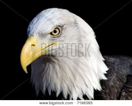 A closeup portrait of a bald eagle with an intense expression. poster