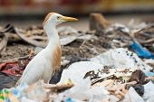 A Cattle Egret (Bubulcus ibis) searching a dump for flies and maggots poster