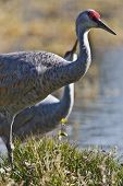 Sandhil Cranes walking and looking for food poster