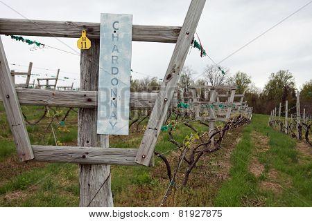 Chardonnay Row of Grape Vines