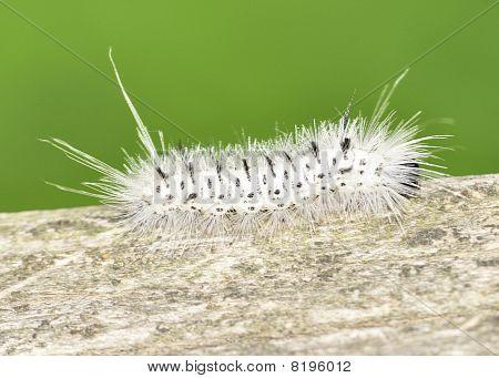 Hickory Tussock Moth Caterpiller