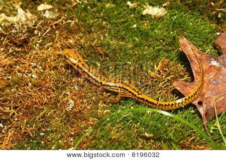 Long-tailed Salamander (Eurycea longicauda) near Cane Creek in Alabama. poster