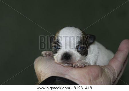 chihuahua in the hand