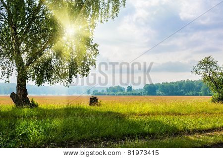 Beautiful Big Birch Tree In A Meadow With Sunny Beams