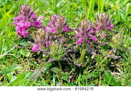 Alpine Flowers: Whorled Lousewort (pedicularis Verticillata)