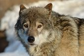 Timber Wolf (Canis lupus) poster