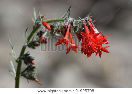Scarlet Gilia or Skyrocket (Ipomopsis aggregata)