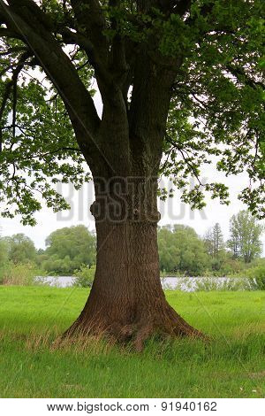 Image Of A Big Old Oak Tree