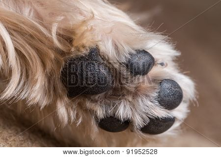 Yorkshire Terrier Paw