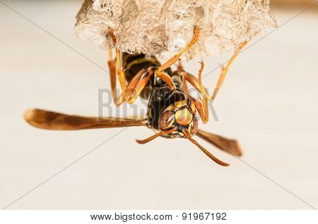 Paper Wasp Perching On It's Nest