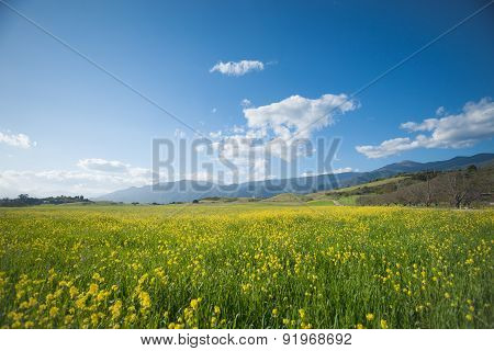 Mustard Blossoms In A California Spring