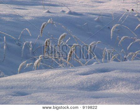 Ears Under The Snow