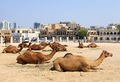 Camels resting in a compound in central Doha Qatar with the main souq Souq Waqif in the background. poster