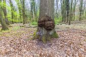 big tree stump in the forest in autumn poster