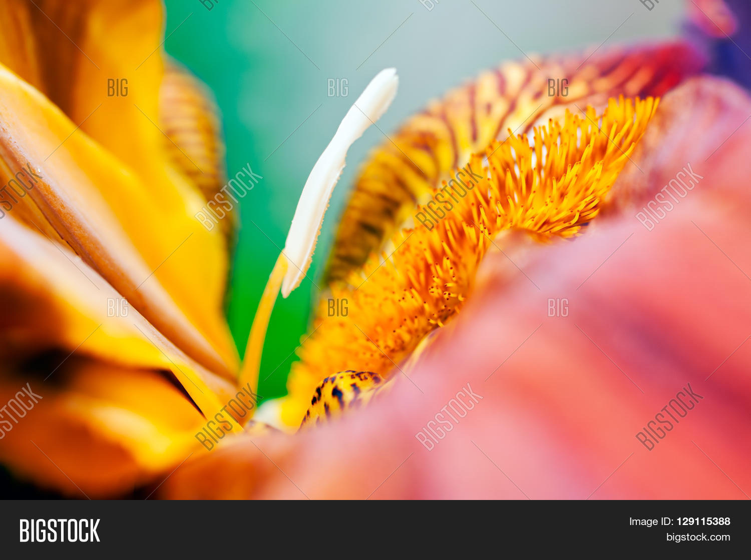 Red Iris Image Photo Free Trial Bigstock