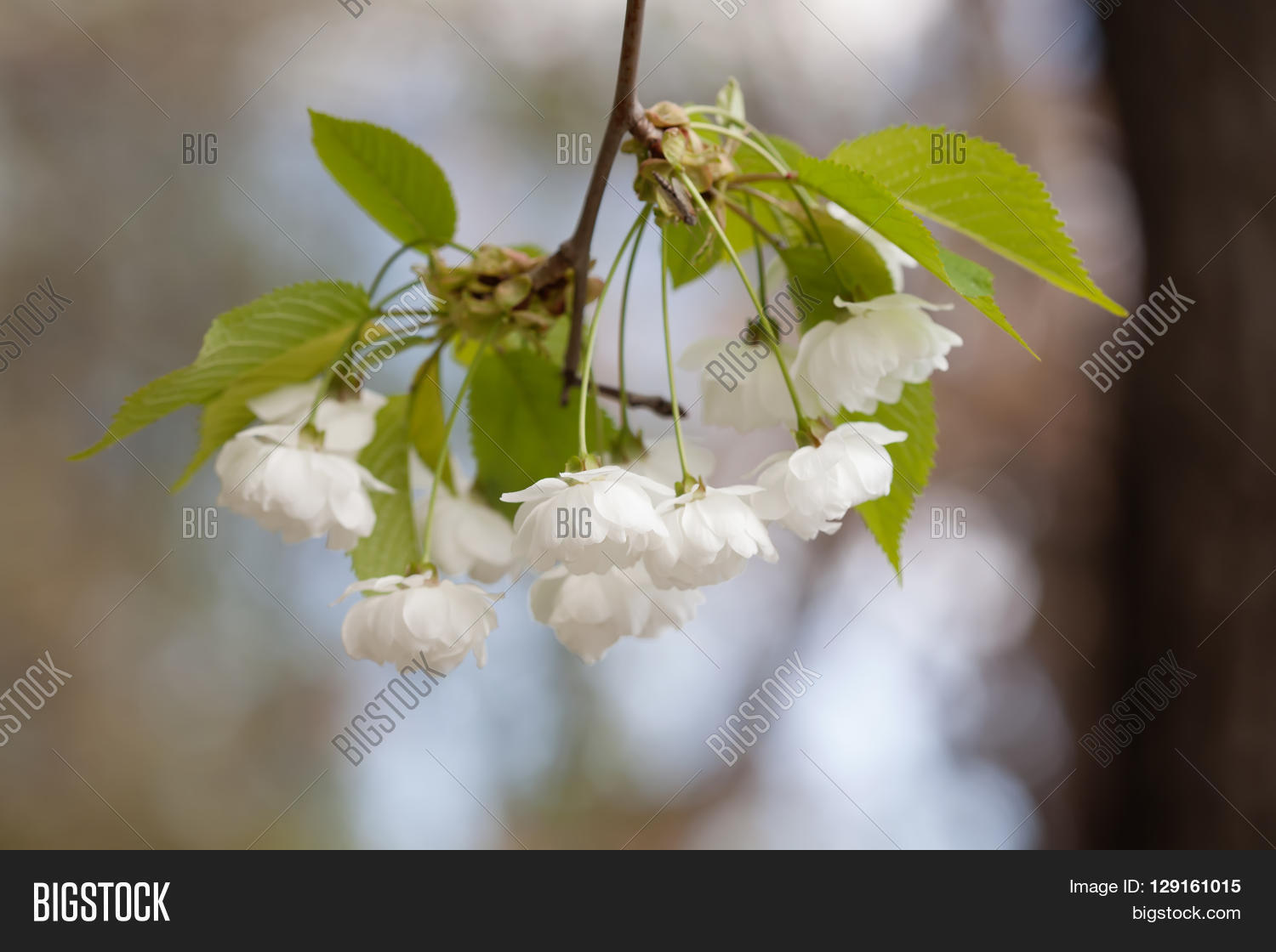 Crabapple Tree Flowers Image Photo Free Trial Bigstock