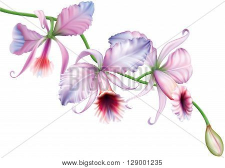 Orchid cattleya flowers on a white background. vector illustration