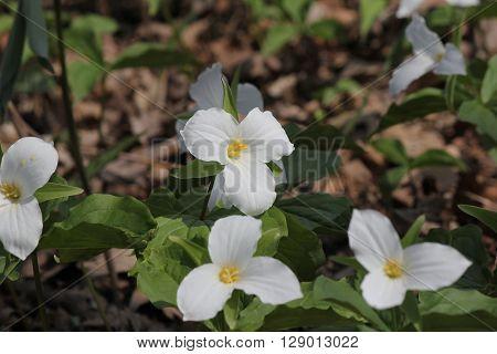 White Trillium (Trillium grandiflorum) blooming in woodlands.  Ontario provincial flower poster