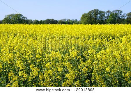 rural landscape with yellow rape, rapeseed or canola field