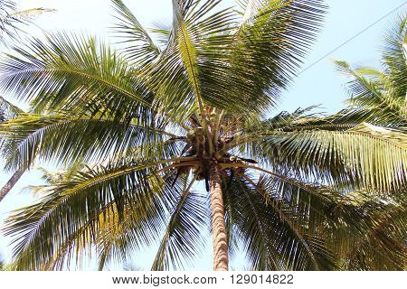 Coconut palms on Bounty Island, GOA, India
