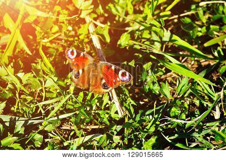 The European Peacock butterfly - in Latin Inachis io also known simply as the Peacock butterfly sitting on the grass under evening sunlight. Spring natural background.