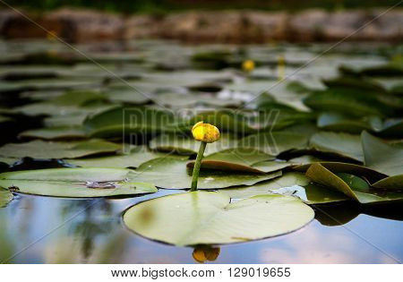 Single full bloom white lotus in the pond.