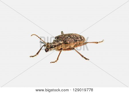 Crumb Bock , also known as Small pliers bock or tracer Ender pliers Bock , is a kind from the family of longhorn beetles .