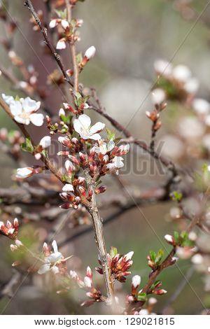 cherry blossom white - Hanami beginning soft focus