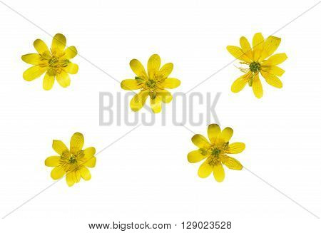 Set of pressed and dried yellow flowers ficaria verna. Isolated on white background.