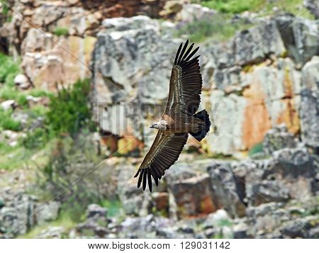 Griffon vulture (Gyps fulvus) in flight with cliffs in the background