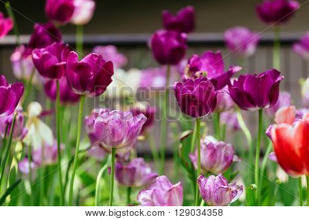The Tulip Is A Perennial, Bulbous Plant With Showy Flowers
