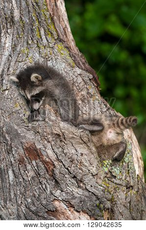 Young Raccoon (Procyon lotor) Butt Plus Sibling - captive animals