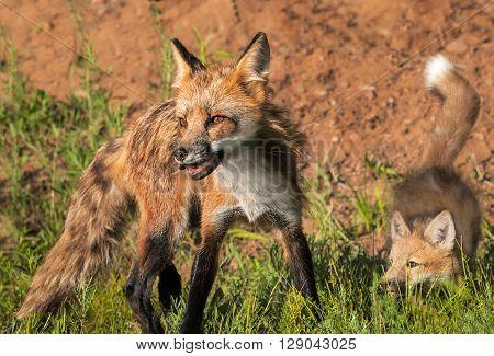 Red Fox Vixen (Vulpes vulpes) and Kit Quick Turn - captive animals