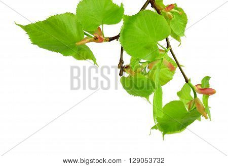 Very young leaves and buds of linden. Early spring. Branch isolated on white background without shadows. Close-up. A charming awakening of nature after winter sleep.