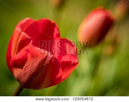 Red tulips in the garden in spring