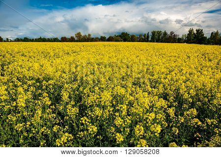 field of rapeseed with beautiful clouds in Germany