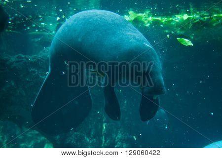 Antillean manatee (Trichechus manatus manatus). Wild life animal.