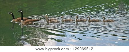 six Canada goose chicks follow their parents, swimming across a lake