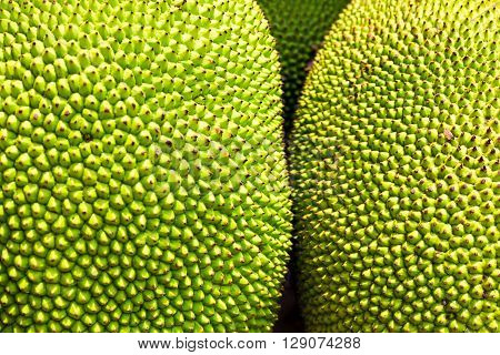 close up to jackfruit on the tree