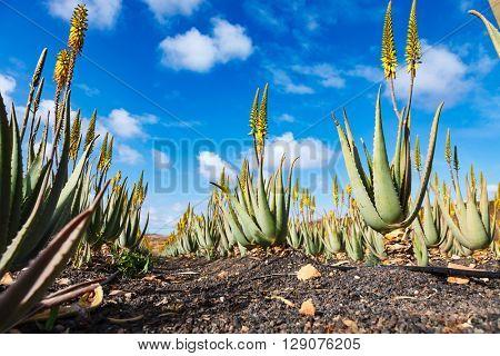 Aloe vera plant in fuerteventura