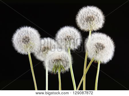 dandelion flower on black color background, many closeup object