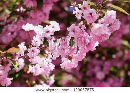 Sakura branches blossoms in a flower garden, beautiful spring landscape at bright day