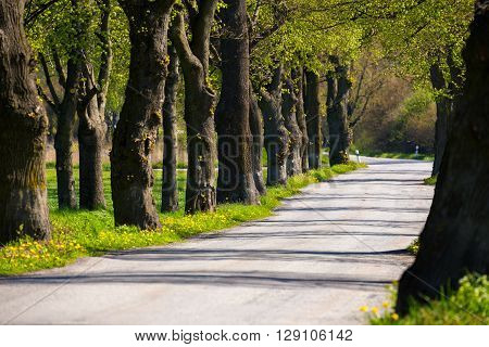 Asphalt Road And Tree Alley
