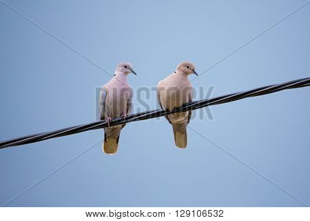 Collared Doves In Love