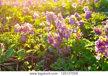 Flowers of Corydalis halleri or Corydalis solida in spring blossom - spring sunset landscape. Shallow depth of field. Selective focus at the central flowers.