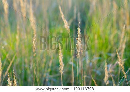 Beautiful Foxtail Grass Blooming