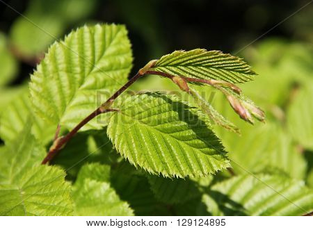 close photo of twigs of hazel with fresh green leaves in spring