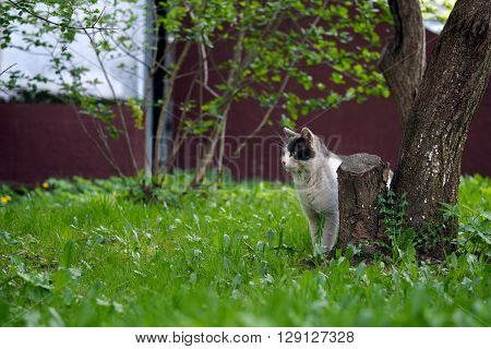 Black and white street cat. Wandering cat, peeking out from behind a tree. Green grass, the house wall. The concept of the problem of homeless animals