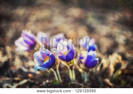 Beautiful wild spring flowers - pasque flower selective focus